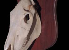 zebra-skull-bleach-on-shield-01