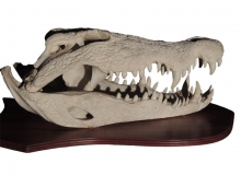 Crocodile skull on shield