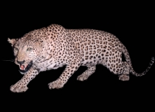 Leopard full mount