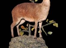 klipspringer-fullmount