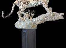 leopard-on-log-01