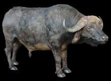 Buffalo Fullmount-72