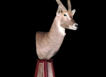 Waterbuck pedestal mount