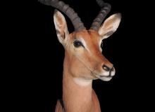 Impala shoulder mount - left