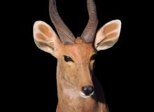 Impala-shoulder-mount