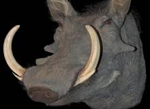 Warthog-shoulder-mount