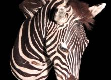zebra-shoulder-mount