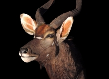 Nyala shoulder mount