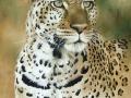 Leopard new