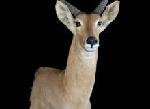 Reedbuck full shoulder finesse mount