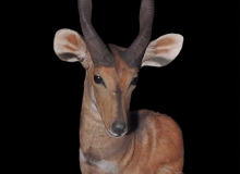 Bushbuck finesse Mount