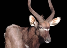 Nyala Finesse mount