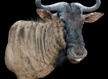 Wildebeest finesse mount