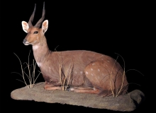 Bushbuck fullmount lying down on base