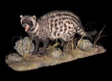 Civet fullmount