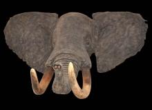 Elephant Shoulder Mount Trunk Curled Up