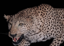 Leopard full mount - close up