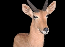 Reedbuck finesse mount