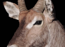 Waterbuck shoulder mount (close up)