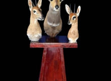 Assorted antelope shoulder mounts on pedestal