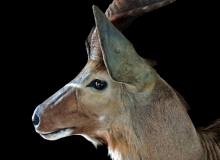 Kudu pedestal mount – close up