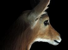 Reedbuck shoulder mount – close up