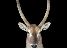Waterbuck full shoulder finesse mount