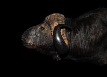 Buffalo shoulder mount – looking straight