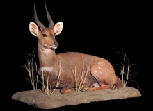 Bushbuck fullmount lying down on base -2