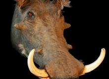 Warthog shoulder mount - right