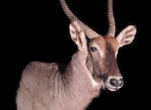 Waterbuck full shoulder finesse mount