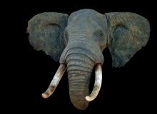Elephant shoulder mount - straight