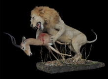 Lion and Impala Full Mount
