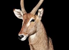 Waterbuck shoulder mount - straight