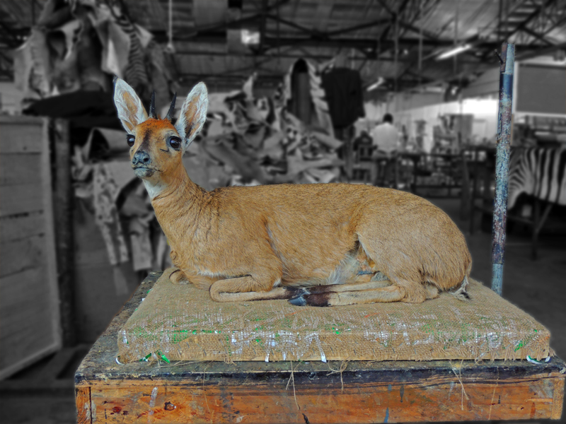 Duiker in our finishing department