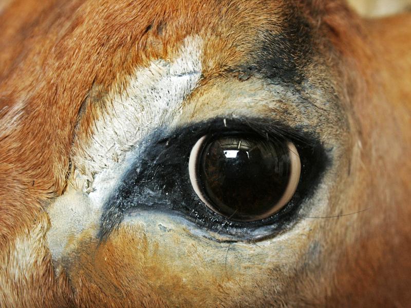 repair around the eye of an Impala