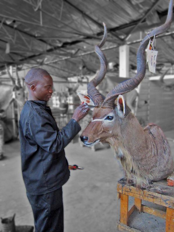 Finishing touches to a kudu mount
