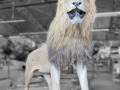 Male lion in our mounting department