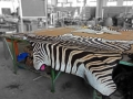 Zebra rug mount in the making