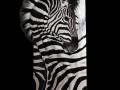 Zebra toile