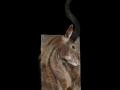 kudu-toile