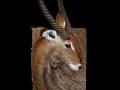 waterbuck toile