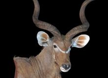 Kudu, wall pedestal mount