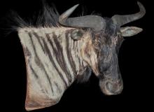 Wildebeest, pedestal wall mount